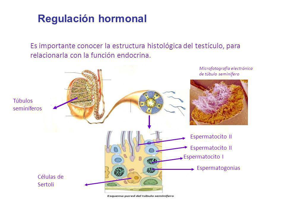 Regulación hormonalEs importante conocer la estructura histológica del testículo, para relacionarla con la función endocrina.