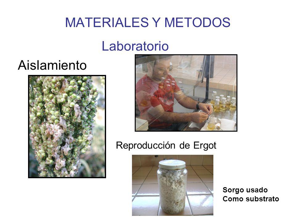 MATERIALES Y METODOS Laboratorio Aislamiento Reproducción de Ergot
