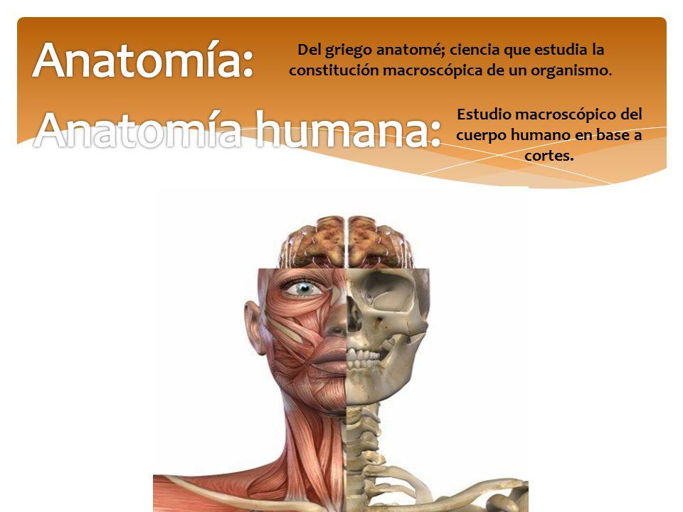 Estudio macroscópico del cuerpo humano en base a cortes.