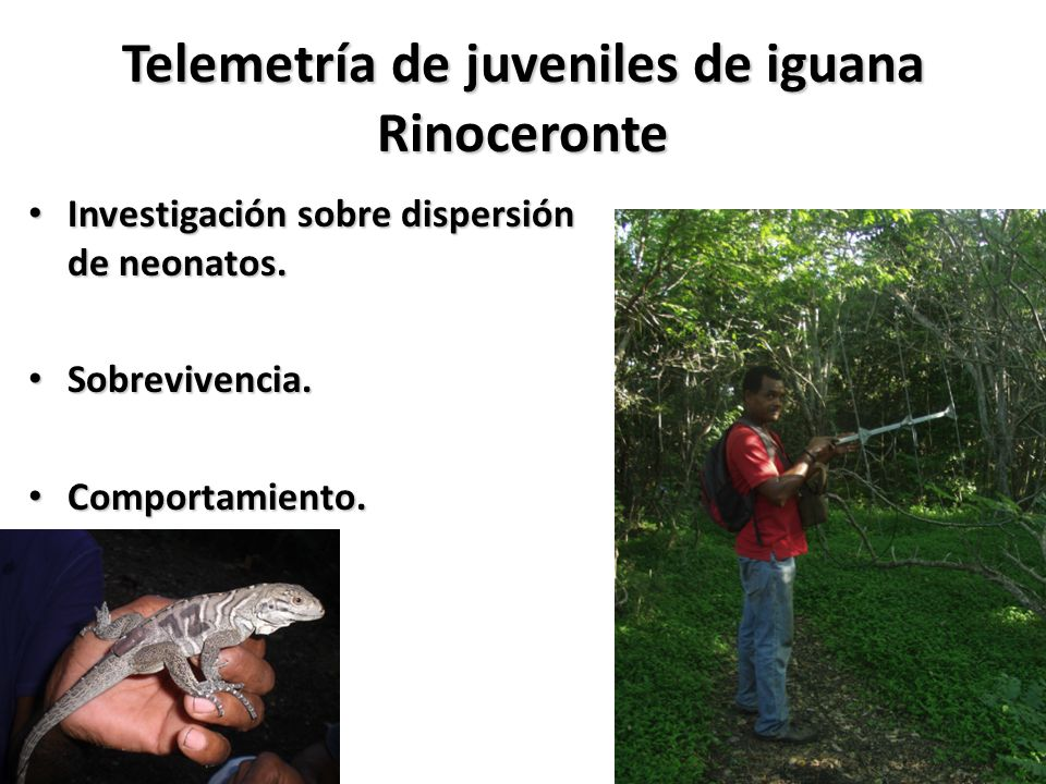 Telemetría de juveniles de iguana Rinoceronte