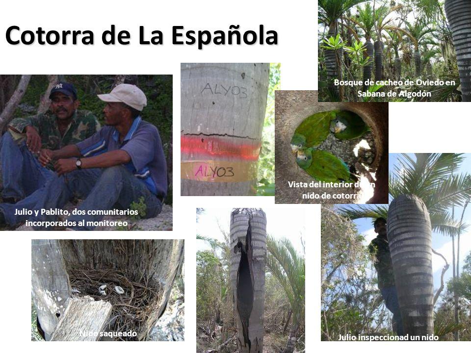 Cotorra de La Española Bosque de cacheo de Oviedo en Sabana de Algodón