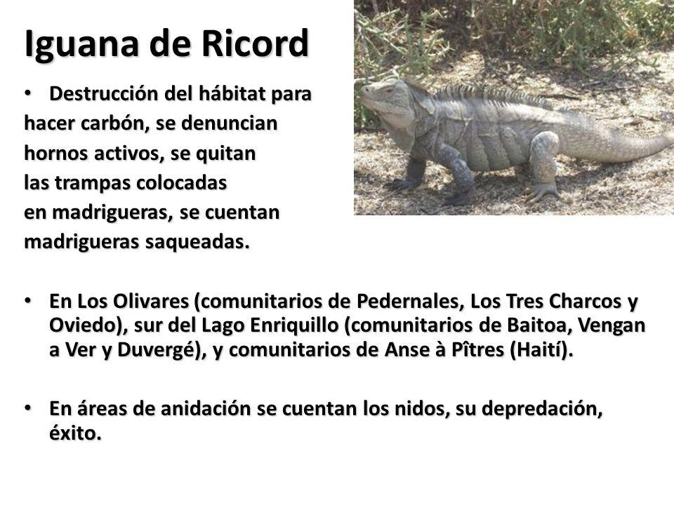 Iguana de Ricord Destrucción del hábitat para
