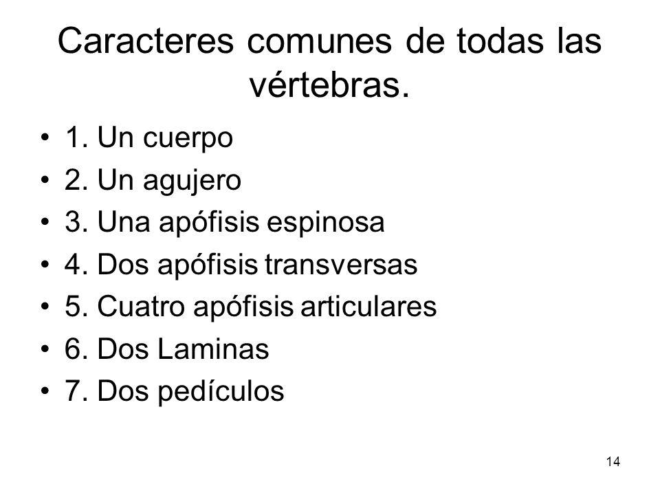 Caracteres comunes de todas las vértebras.