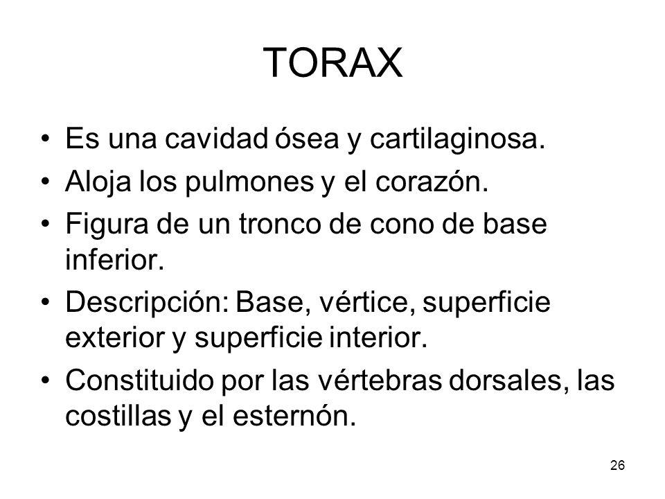 TORAX Es una cavidad ósea y cartilaginosa.
