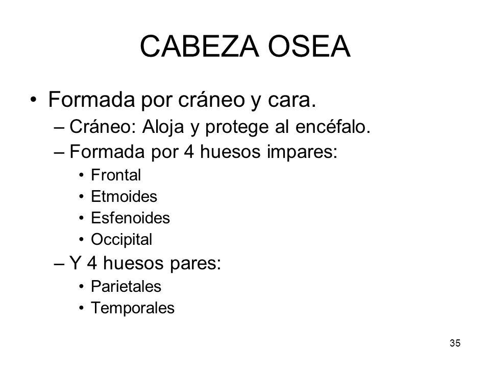 CABEZA OSEA Formada por cráneo y cara.