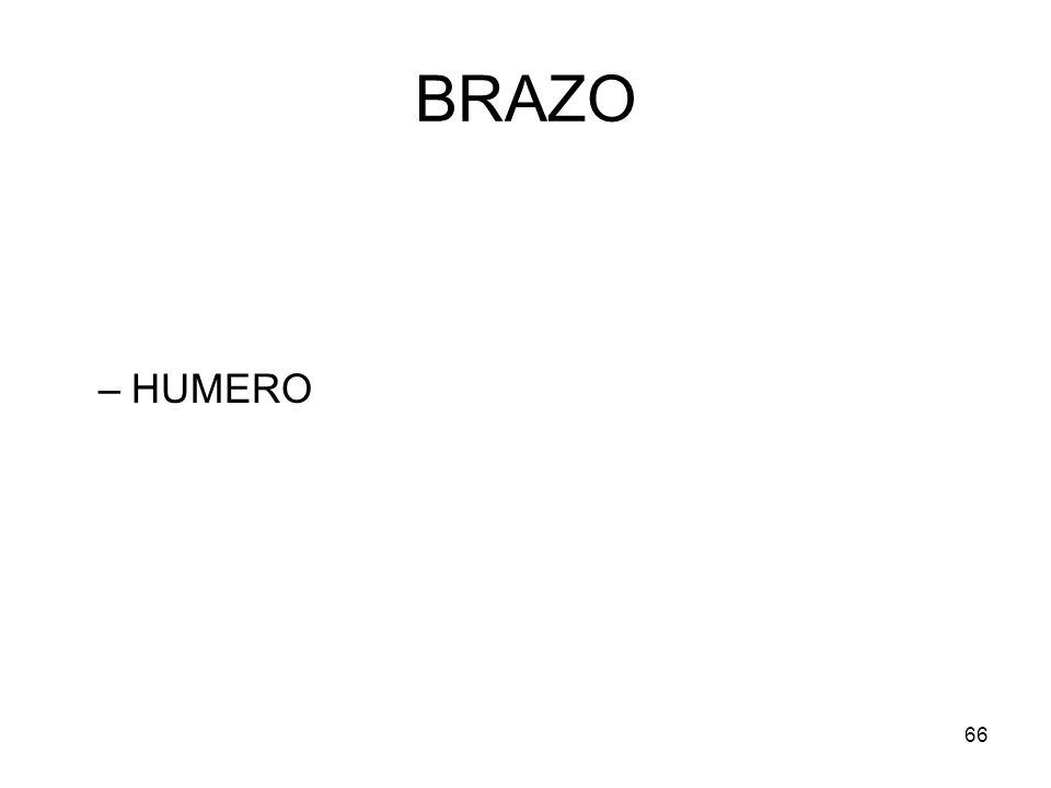 BRAZO HUMERO