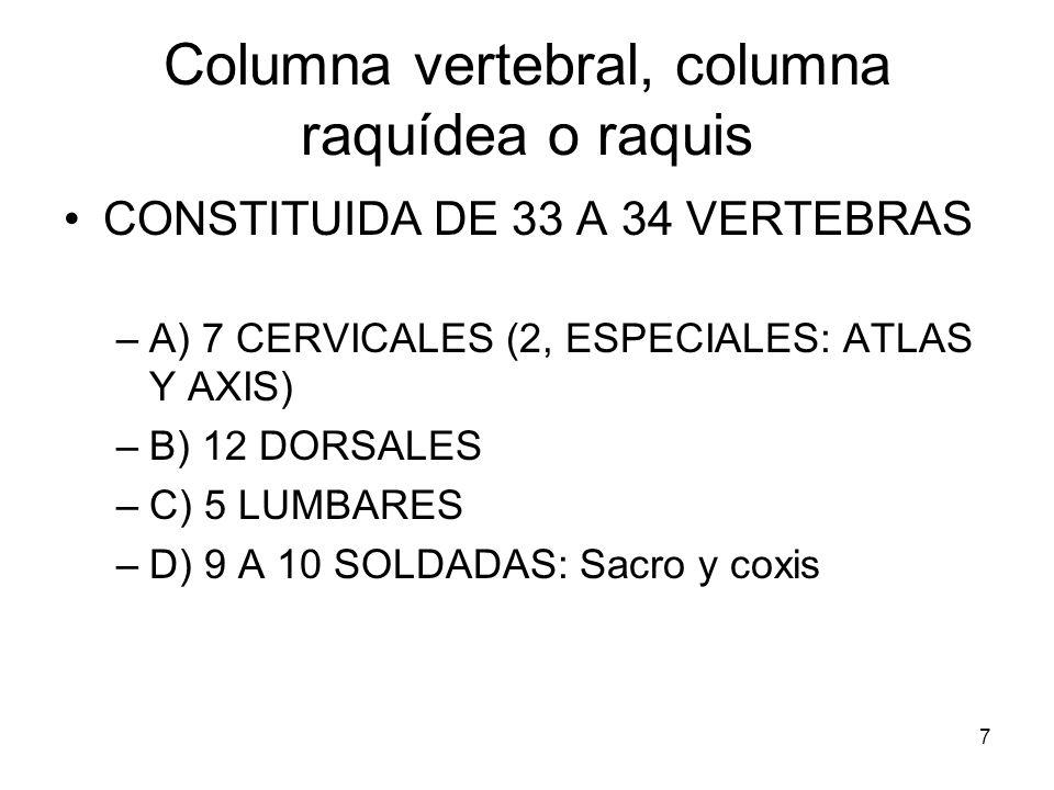 Columna vertebral, columna raquídea o raquis