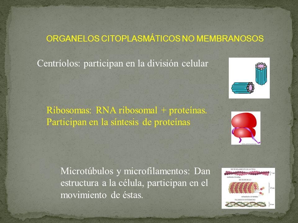 Centríolos: participan en la división celular