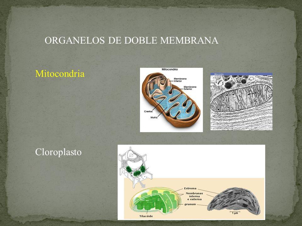 ORGANELOS DE DOBLE MEMBRANA