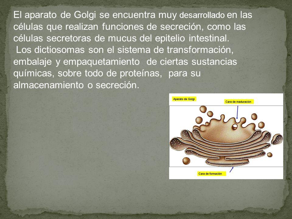 El aparato de Golgi se encuentra muy desarrollado en las células que realizan funciones de secreción, como las células secretoras de mucus del epitelio intestinal.