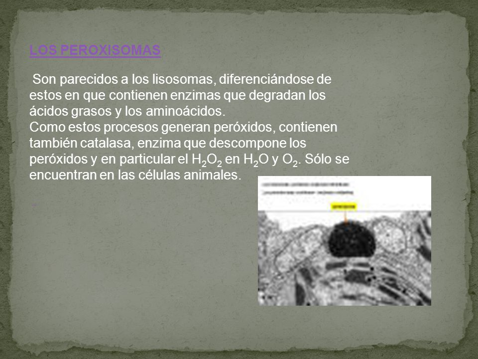 LOS PEROXISOMAS
