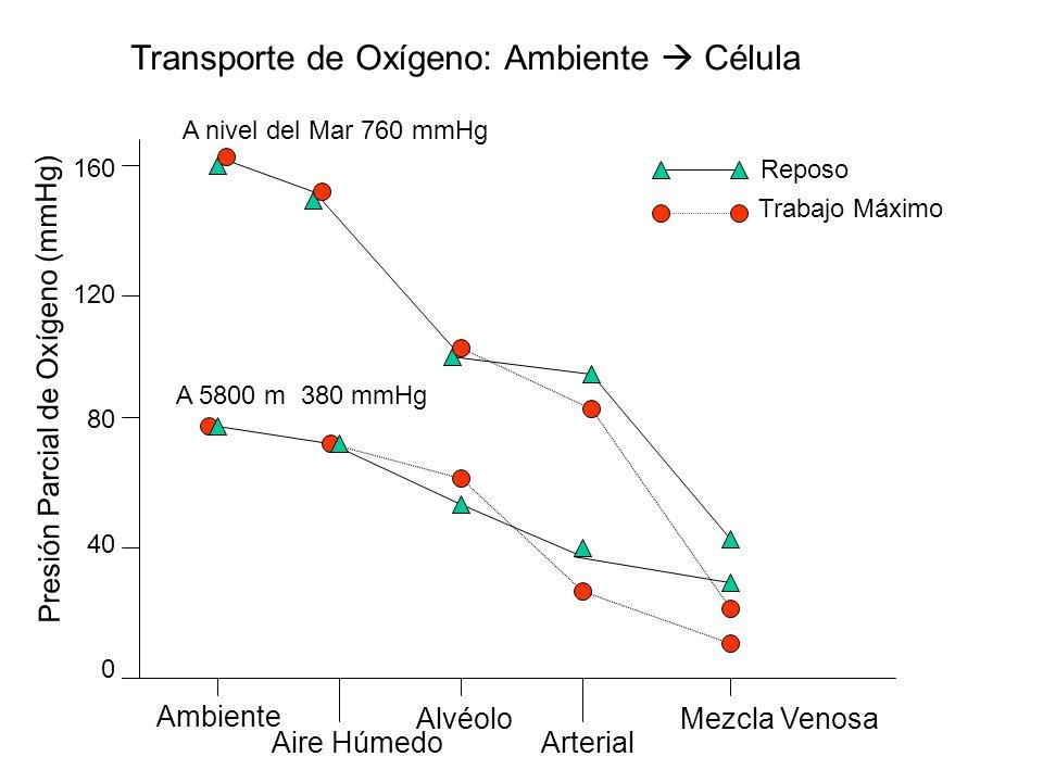 Transporte de Oxígeno: Ambiente  Célula