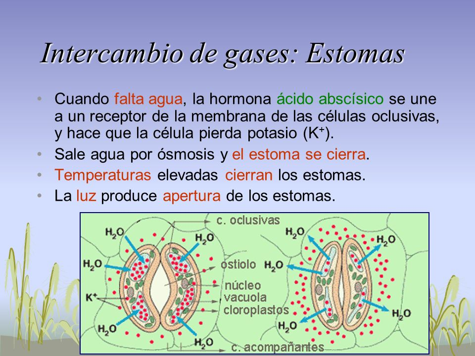 Intercambio de gases: Estomas