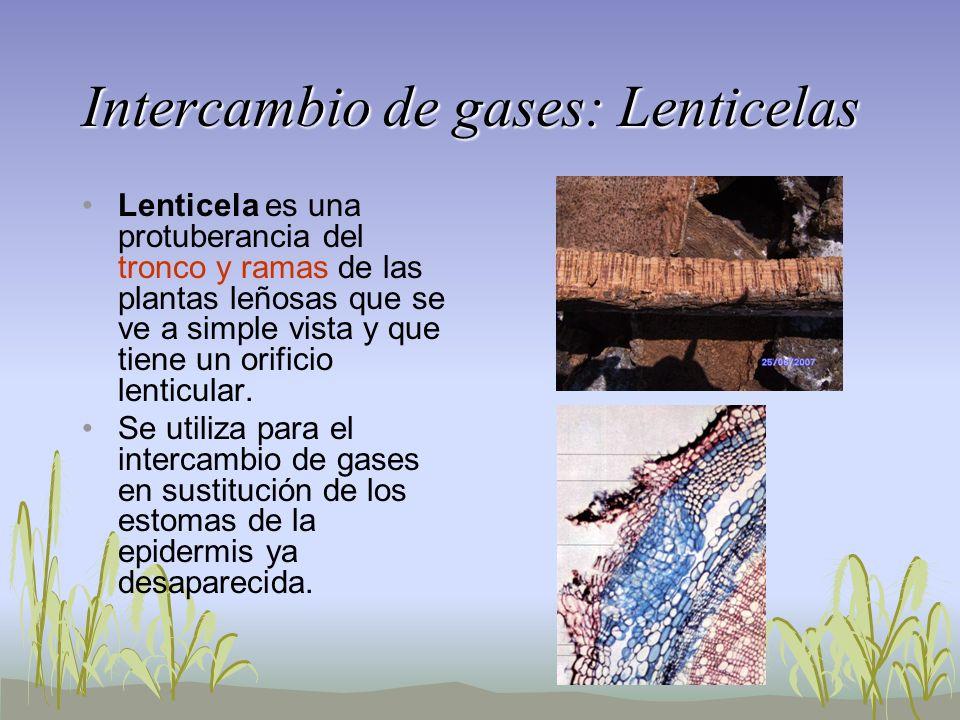 Intercambio de gases: Lenticelas