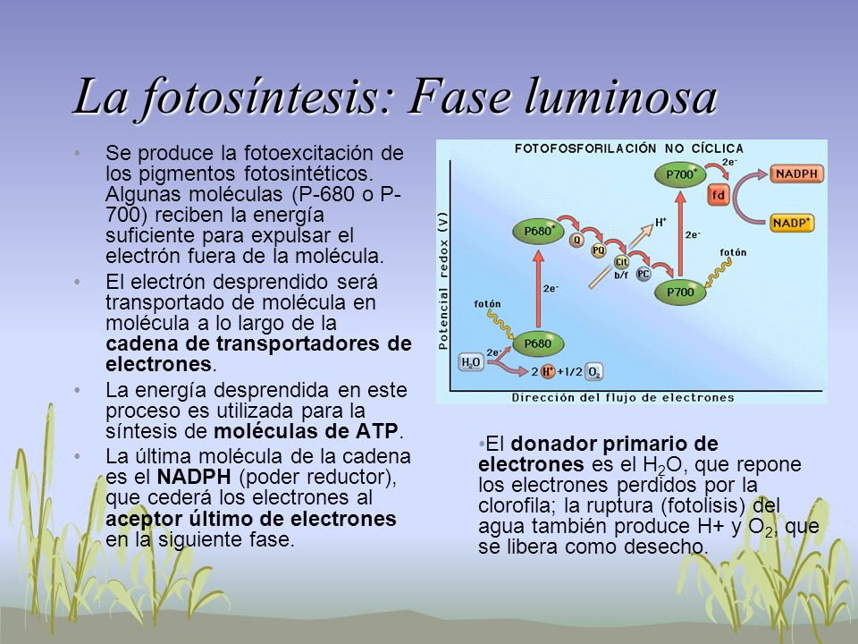 La fotosíntesis: Fase luminosa