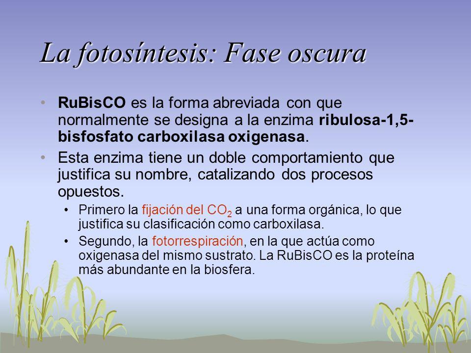 La fotosíntesis: Fase oscura