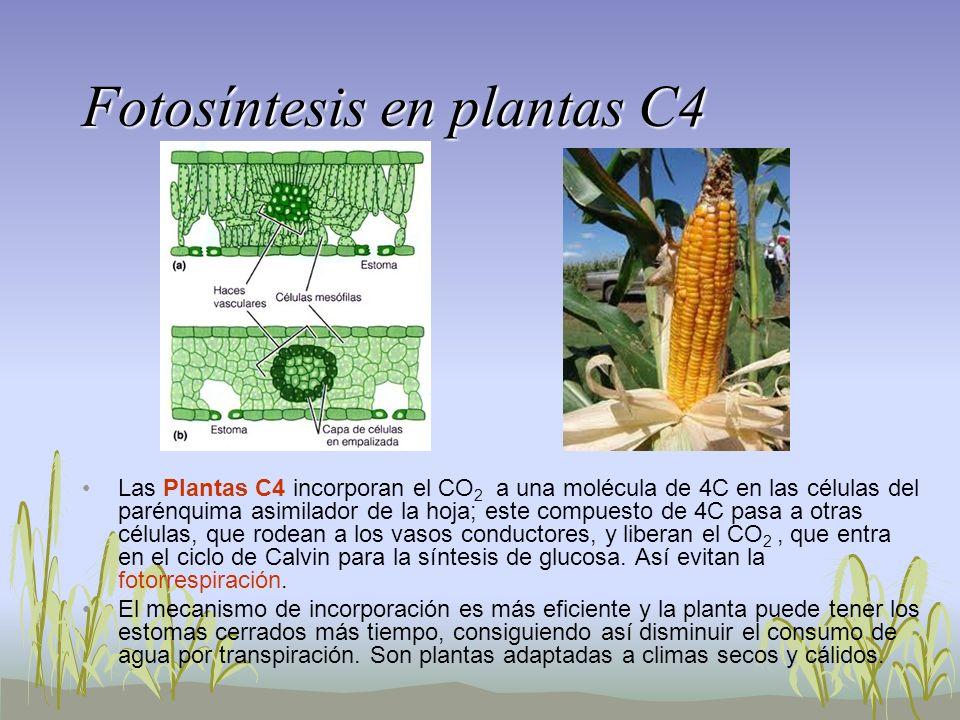 Fotosíntesis en plantas C4