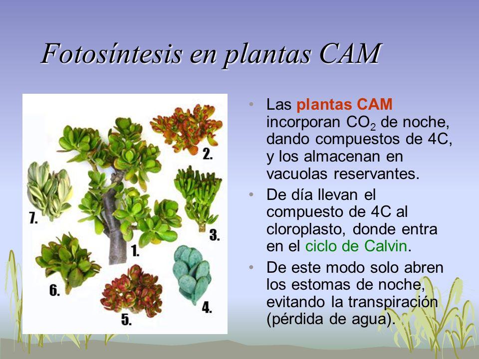 Fotosíntesis en plantas CAM