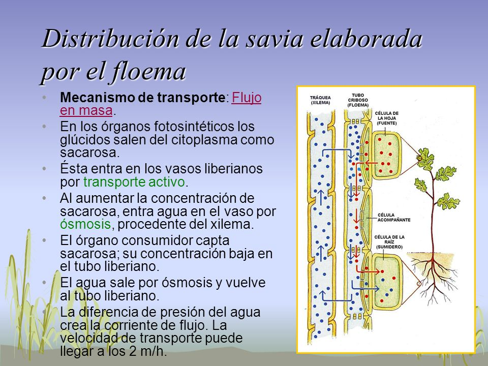 Distribución de la savia elaborada por el floema