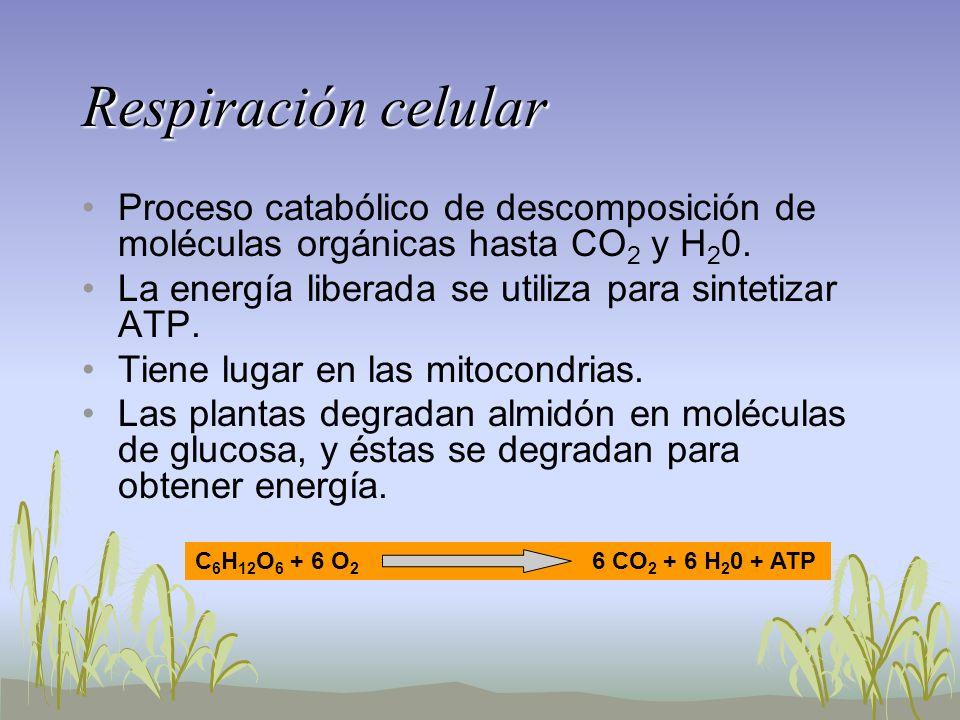 Respiración celularProceso catabólico de descomposición de moléculas orgánicas hasta CO2 y H20. La energía liberada se utiliza para sintetizar ATP.