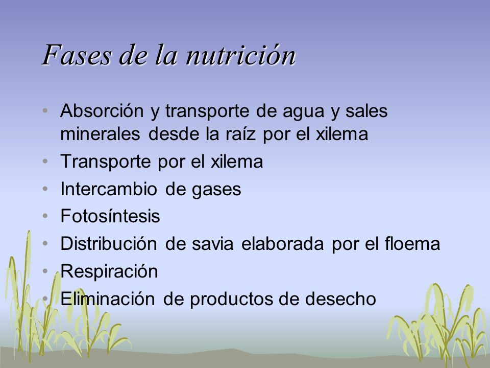Fases de la nutrición Absorción y transporte de agua y sales minerales desde la raíz por el xilema.
