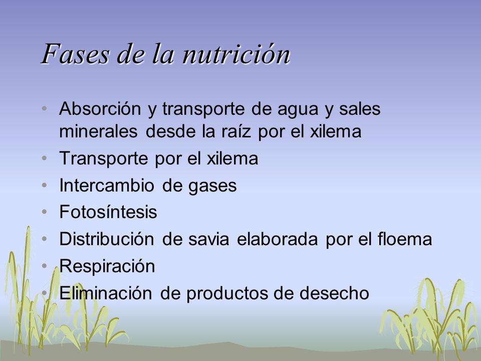 Fases de la nutriciónAbsorción y transporte de agua y sales minerales desde la raíz por el xilema. Transporte por el xilema.