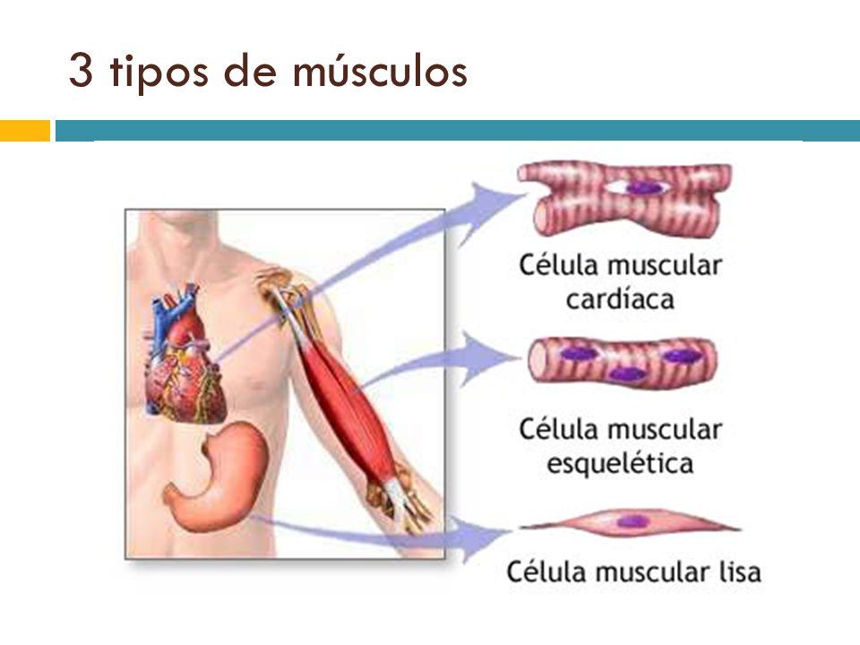Tejido Muscular. - ppt video online descargar