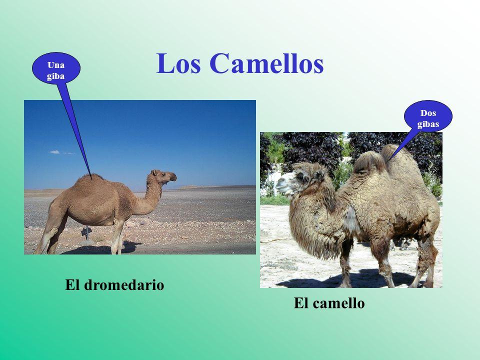 Los Camellos Una giba Dos gibas El dromedario El camello