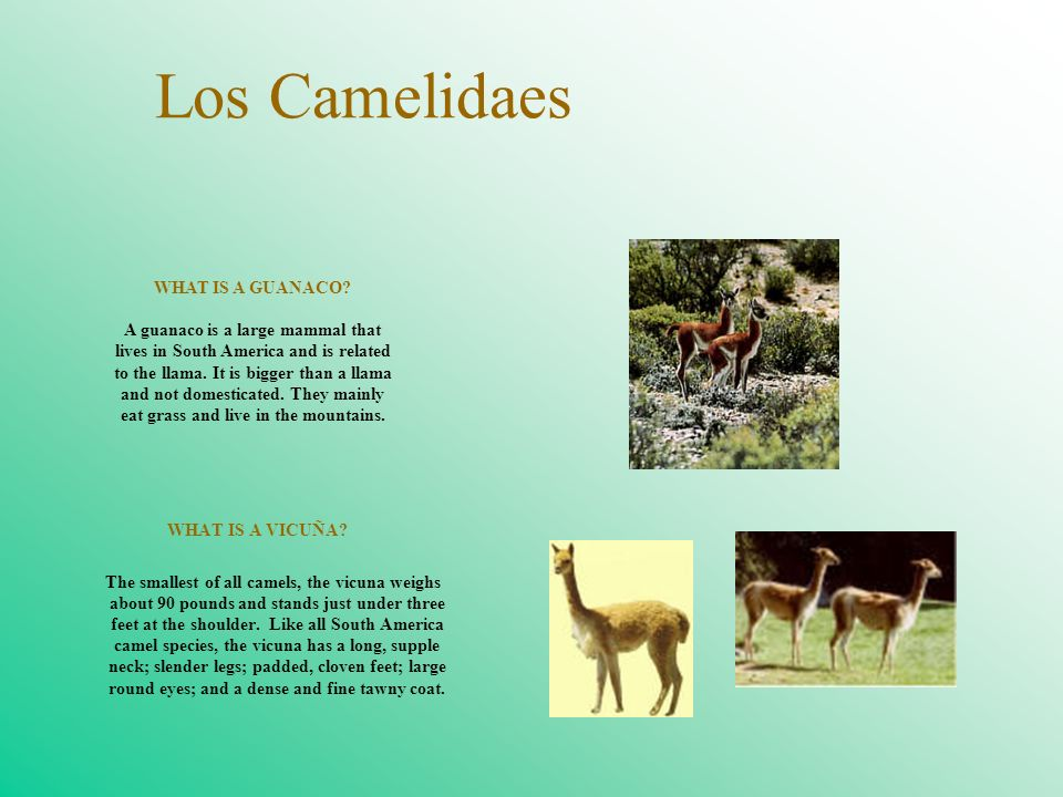 Los Camelidaes WHAT IS A GUANACO