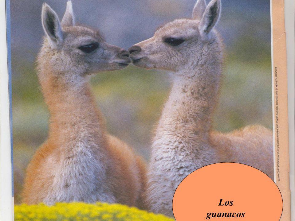 Los guanacos