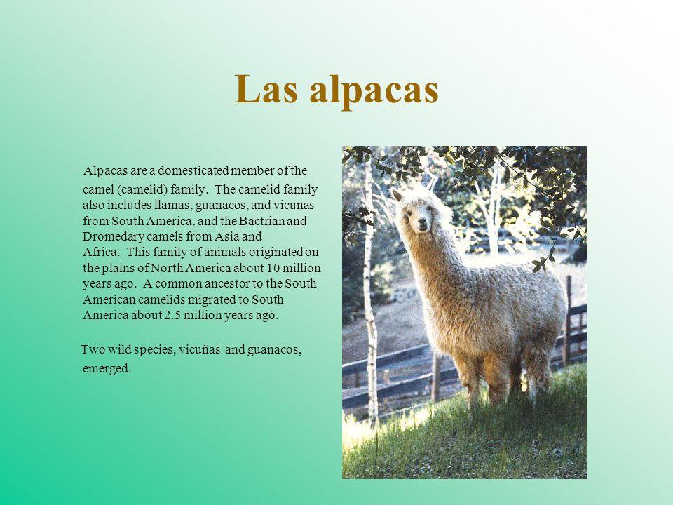 Las alpacas