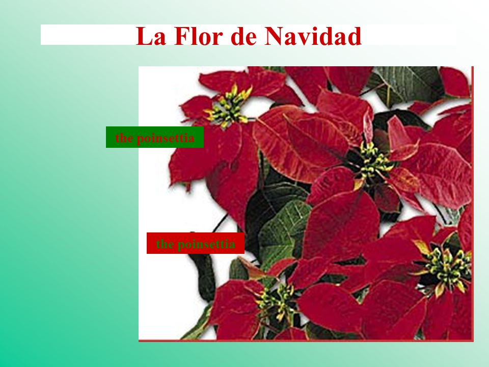 La Flor de Navidad the poinsettia the poinsettia