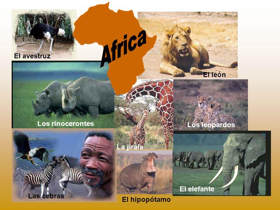 Africa El avestruz El león Los rinocerontes Los leopardos La jirafa