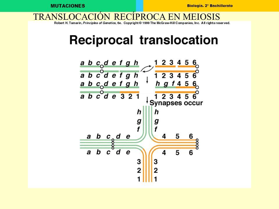 TRANSLOCACIÓN RECÍPROCA EN MEIOSIS