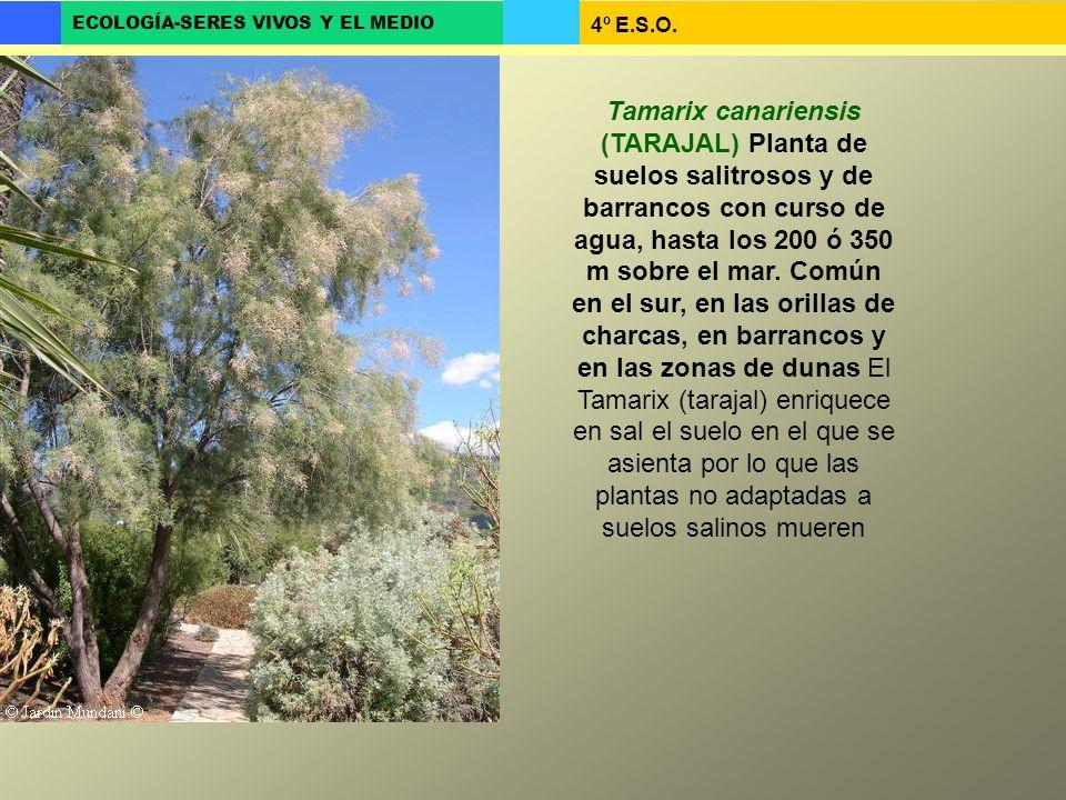 Tamarix canariensis (TARAJAL) Planta de suelos salitrosos y de barrancos con curso de agua, hasta los 200 ó 350 m sobre el mar.