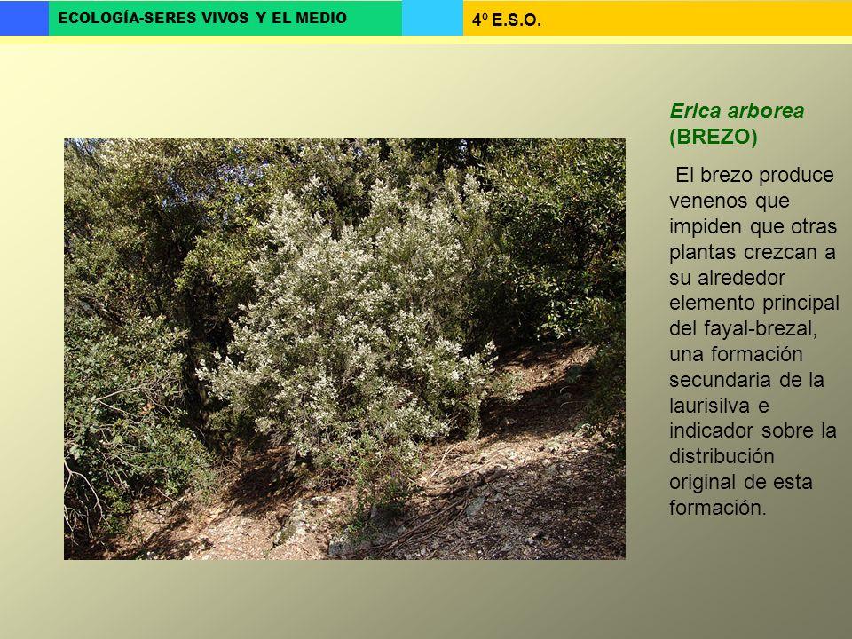 Erica arborea (BREZO)