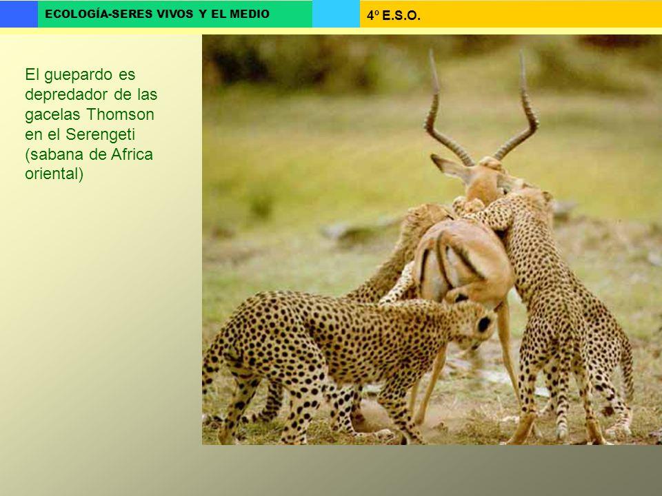 El guepardo es depredador de las gacelas Thomson en el Serengeti (sabana de Africa oriental)