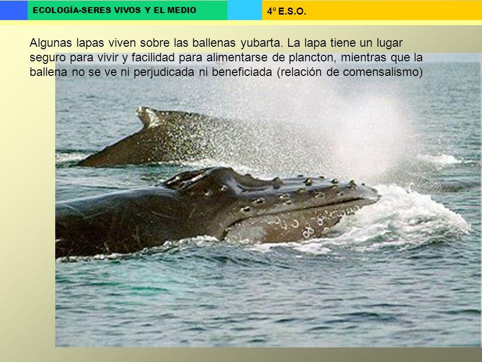 Algunas lapas viven sobre las ballenas yubarta