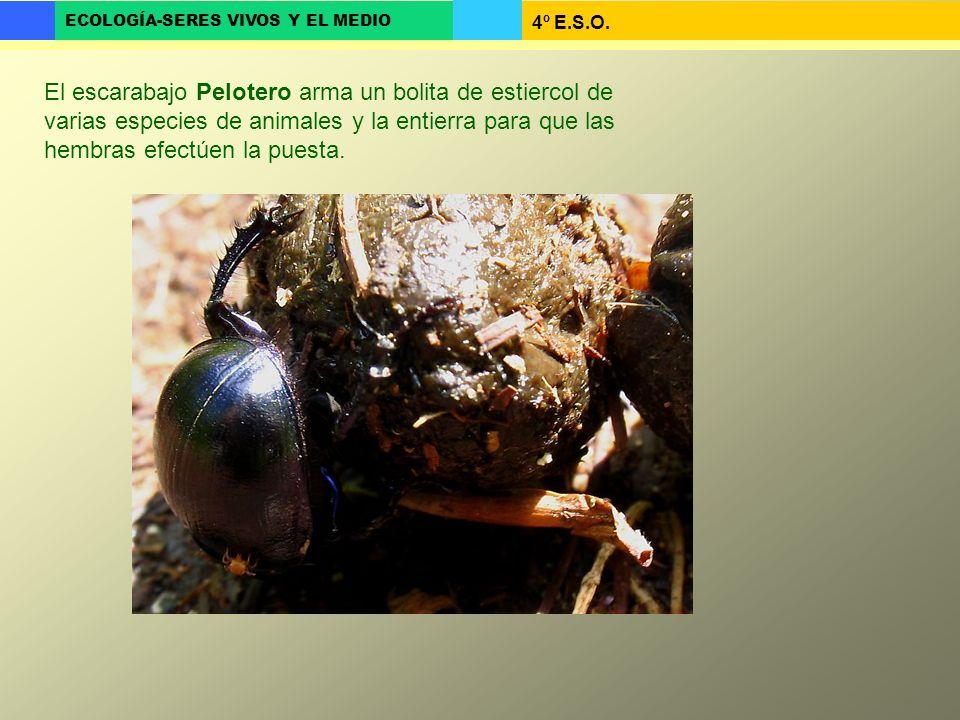 El escarabajo Pelotero arma un bolita de estiercol de varias especies de animales y la entierra para que las hembras efectúen la puesta.