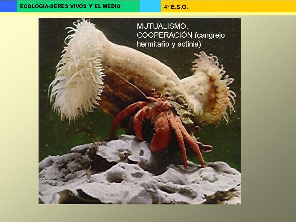 MUTUALISMO: COOPERACIÓN (cangrejo hermitaño y actinia)