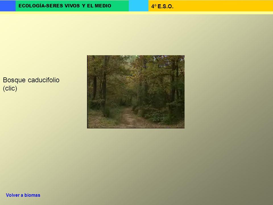 Bosque caducifolio (clic)