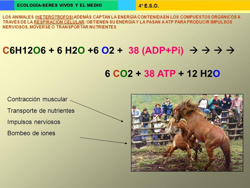 C6H12O6 + 6 H2O +6 O2 + 38 (ADP+Pi)     6 CO2 + 38 ATP + 12 H2O