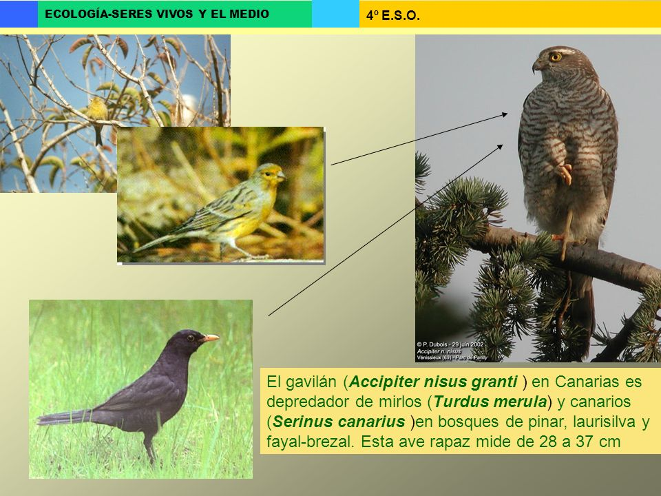 El gavilán (Accipiter nisus granti ) en Canarias es depredador de mirlos (Turdus merula) y canarios (Serinus canarius )en bosques de pinar, laurisilva y fayal-brezal.