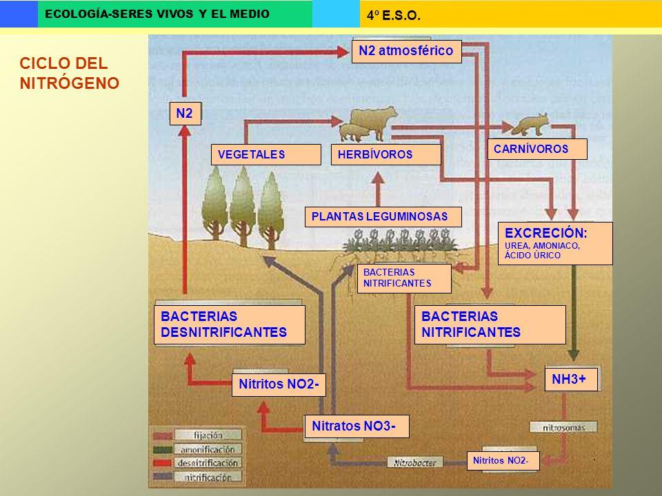 CICLO DEL NITRÓGENO N2 atmosférico N2