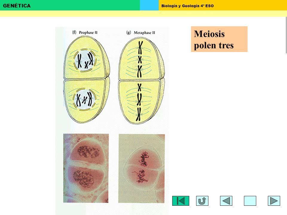 Meiosis polen tres