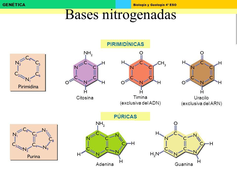 Bases nitrogenadas PIRIMIDÍNICAS PÚRICAS Citosina