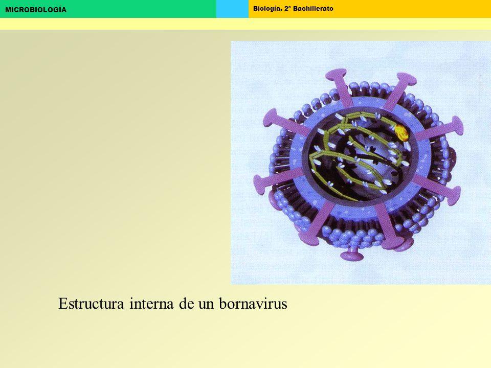 Estructura interna de un bornavirus