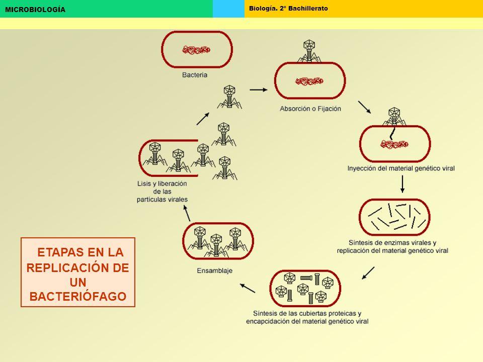 ETAPAS EN LA REPLICACIÓN DE UN BACTERIÓFAGO