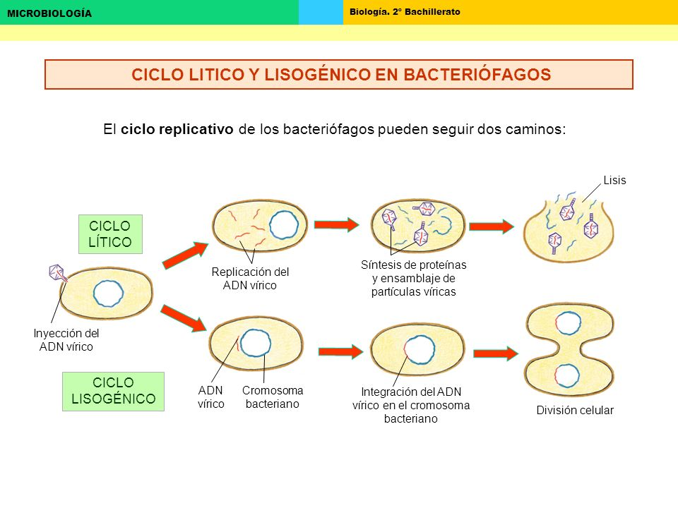 CICLO LITICO Y LISOGÉNICO EN BACTERIÓFAGOS