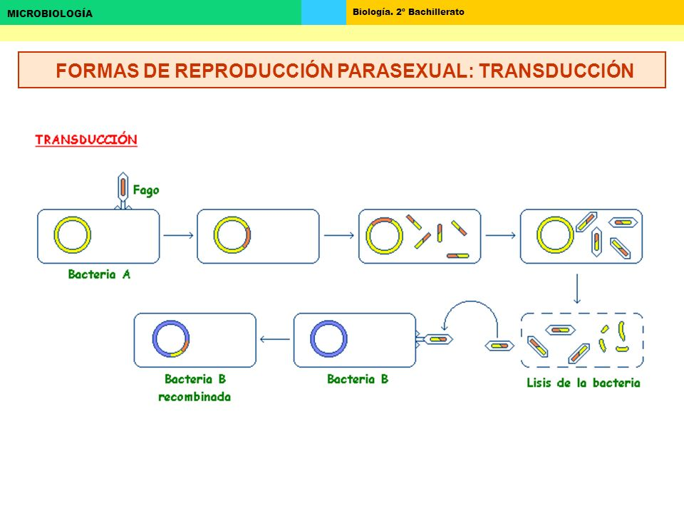 FORMAS DE REPRODUCCIÓN PARASEXUAL: TRANSDUCCIÓN